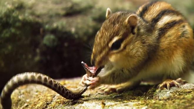 Hai trạng thái đối nghịch giữa kẻ đi săn rắn độc và kẻ bị rắn độc săn của loài sóc chuột