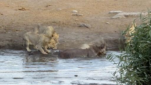 """Tưởng dễ ăn, 3 con sư tử bị 1 con tê giác đang mang thai đuổi chạy """"cong đuôi"""" ảnh 1"""