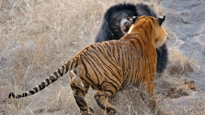 """Hợp lực đi săn, đàn hổ hạ gục con gấu to lớn trong """"nháy mắt"""""""