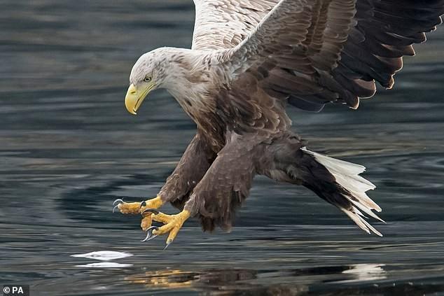 Loài chim tưởng như đã tuyệt chủng hơn 100 năm về trước, nay lại hiên ngang vỗ cánh trên bầu trời nước Anh ảnh 2