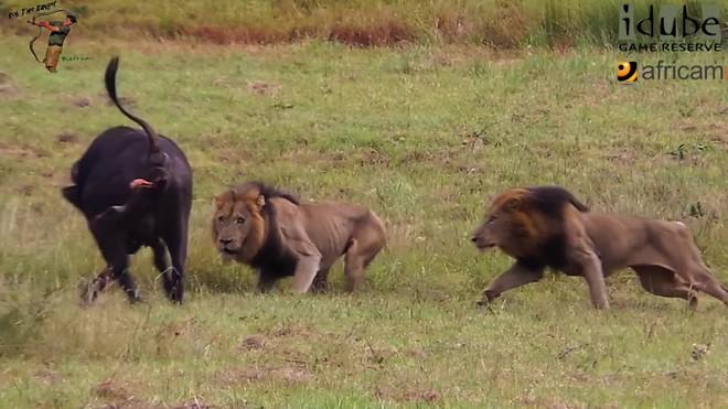 """Một khi ra tay, những vị Vua của đàn sư tử cho thấy kỹ năng săn mồi cực """"đỉnh"""" ảnh 1"""