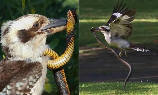 """Đụng nhầm phải con rắn cực độc, chim bói cá bản địa Úc suýt nhận cái kết """"đắng"""""""