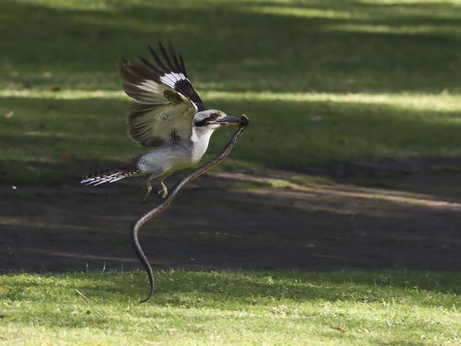 """Đụng nhầm phải con rắn cực độc, chim bói cá bản địa Úc suýt nhận cái kết """"đắng"""" ảnh 1"""