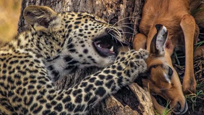 """Tham ăn mất cảnh giác, báo hoa mai con suýt trở thành """"bữa ăn"""" của đàn chó hoang châu Phi ảnh 1"""