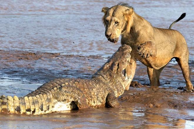 Tranh giành miếng mồi ngon, sư tử đại chiến cá sấu