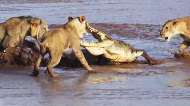 Tranh giành miếng mồi ngon, sư tử đại chiến cá sấu ảnh 1