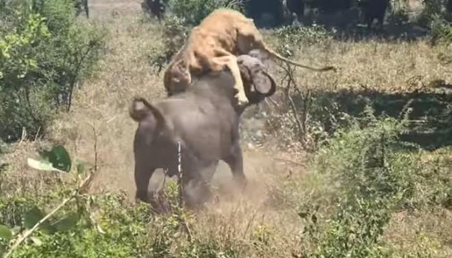 """Khi sa cơ lỡ vận, sư tử """"cay đắng"""" chịu cảnh bị trâu rừng tấn công, lùa chạy như vịt"""