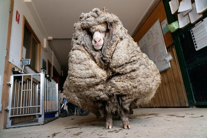 Cừu Baarack trông như một fashionista sành điệu khi mới được tìm thấy.