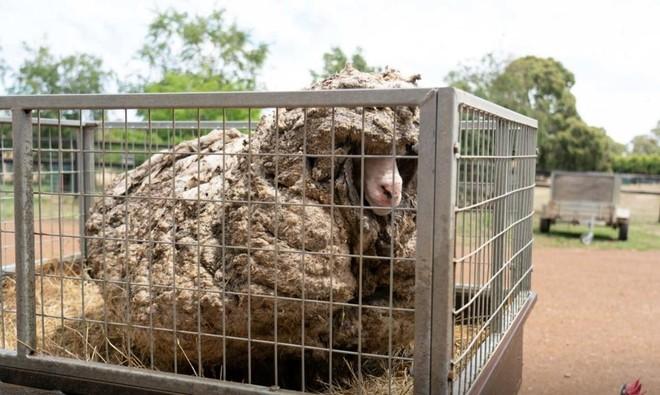 Màn lột xác đáng kinh ngạc của chú cừu hoang dã sau khi được giải cứu khỏi bộ lông nặng hơn 35 kg ảnh 1