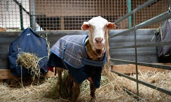 Màn lột xác đáng kinh ngạc của chú cừu hoang dã sau khi được giải cứu khỏi bộ lông nặng hơn 35 kg ảnh 2