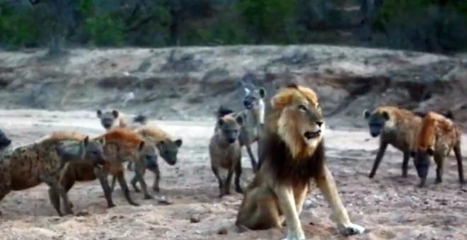 Chúa sơn lâm thể hiện bản lĩnh giữa vòng vây của 20 con linh cẩu khát máu