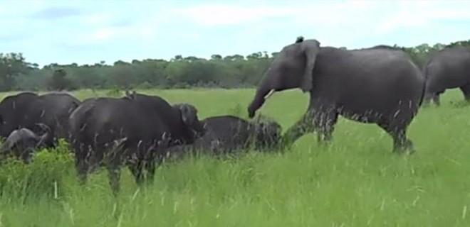 Nghịch dại đá vào đầu trâu rừng, voi con suýt phải trả giá đắt