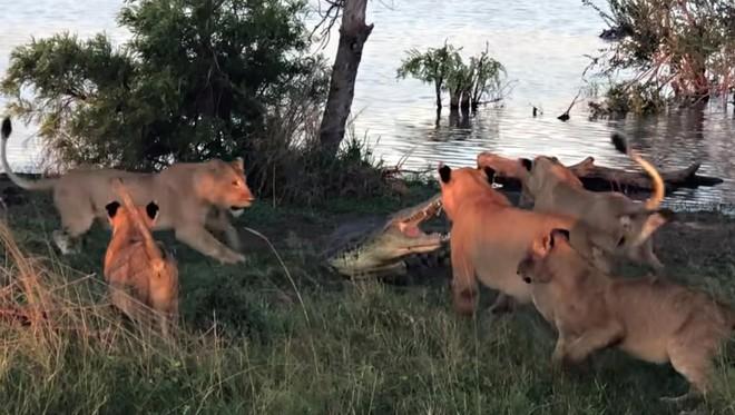 Tham miếng thịt thừa, cá sấu suýt phải bỏ mạng trước móng vuốt của bầy sư tử