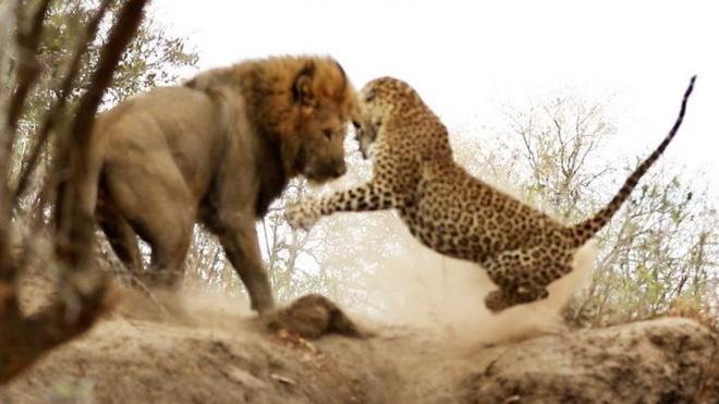 """Đang say giấc nồng, báo hoa mai """"giật bắn người"""" trước pha tấn công chớp nhoáng của sư tử"""