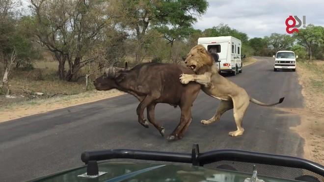 Vua sư tử hạ sát trâu rừng gọn gàng ngay trước mắt đoàn khách du lịch