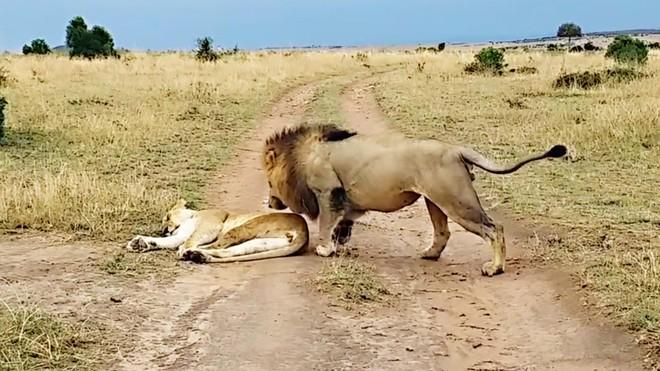 """Sư tử cái đang ngủ bỗng nhiên bị con đực chơi khăm và dụng ý cực kỳ """"ngọt ngào"""" đằng sau hành động đó"""