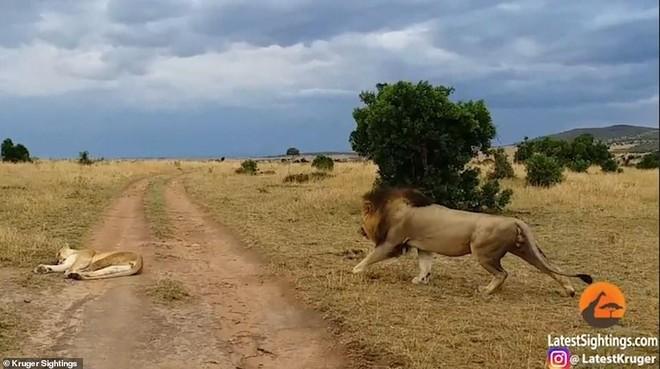 """Sư tử cái đang ngủ bỗng nhiên bị con đực chơi khăm và dụng ý cực kỳ """"ngọt ngào"""" đằng sau hành động đó ảnh 1"""
