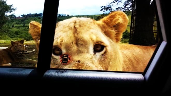 Hú hồn tình huống sư tử tự mở cửa, định nhảy vào xe của khách du lịch