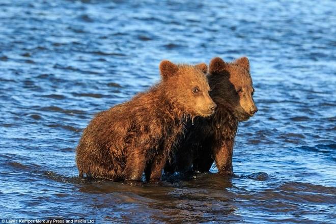 Mê mẩn khoảnh khắc đôi gấu con khoác tay, cùng nhau ngóng trông gấu mẹ đi săn mồi ảnh 2