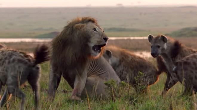 """Giữa lúc nguy nan, sư tử """"tả xung hữu đột"""" giải cứu người bạn khỏi vòng vây của bầy linh cẩu khát máu"""