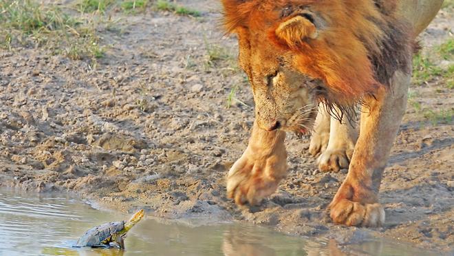 """Sinh vật tý hon khiến cặp sư tử dũng mãnh cũng phải """"bó tay"""" khi đối đầu"""