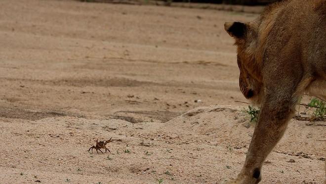 Cuộc chiến không cân sức, một mình chú cua bé nhỏ chấp hết cả đàn sư tử hung hãn