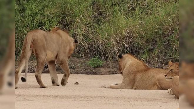 Cuộc chiến không cân sức, một mình chú cua bé nhỏ chấp hết cả đàn sư tử hung hãn ảnh 2