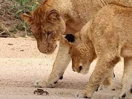 Cuộc chiến không cân sức, một mình chú cua bé nhỏ chấp hết cả đàn sư tử hung hãn ảnh 1