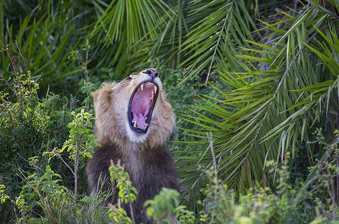 Thót tim trước cảnh sư tử đực phát hiện ra có người chụp trộm, tuy nhiên hành động sau đó của nó khiến ai cũng phải kinh ngạc