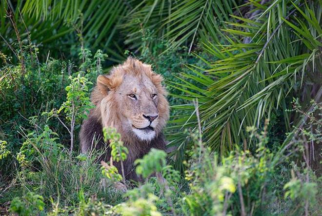 Thót tim trước cảnh sư tử đực phát hiện ra có người chụp trộm, tuy nhiên hành động sau đó của nó khiến ai cũng phải kinh ngạc ảnh 2