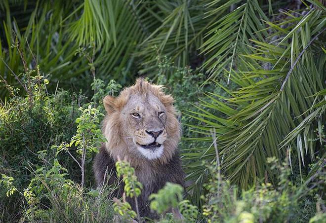 Thót tim trước cảnh sư tử đực phát hiện ra có người chụp trộm, tuy nhiên hành động sau đó của nó khiến ai cũng phải kinh ngạc ảnh 4