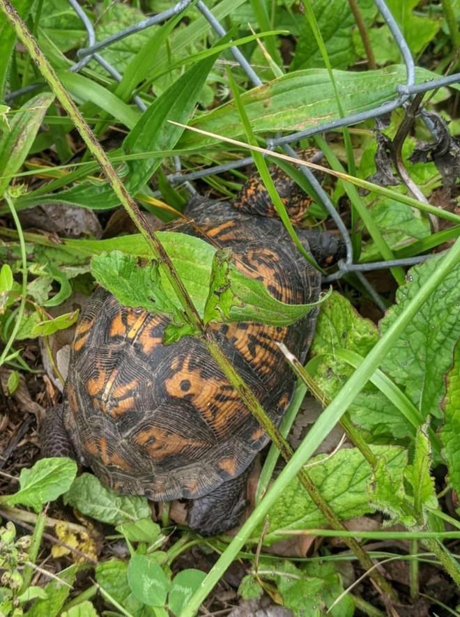 Giải cứu con rùa bị mắc kẹt, cô gái suýt ngất xỉu sau khi phát hiện ra điều bí ẩn nằm phía dưới ảnh 1
