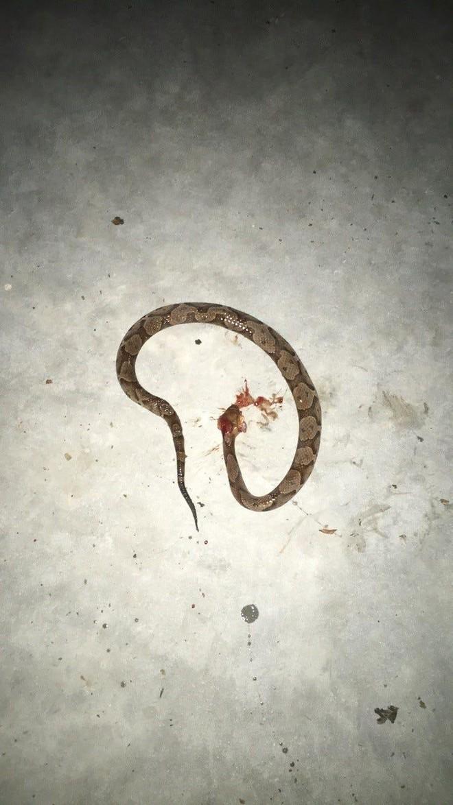 Để cứu chủ nhân, chú chó Pitbull dũng cảm đánh nhau với rắn độc và bị cắn sưng cả mặt ảnh 2