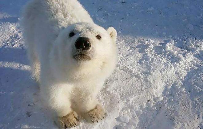 Biết ơn những người cưu mang mình từ nhỏ, gấu Bắc Cực báo đáp bằng món quà vô giá ảnh 1