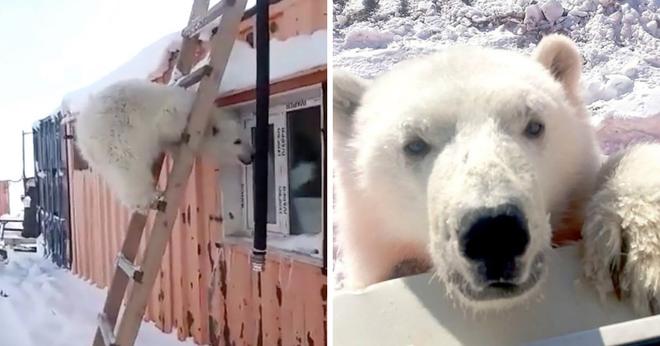 Biết ơn những người cưu mang mình từ nhỏ, gấu Bắc Cực báo đáp bằng món quà vô giá