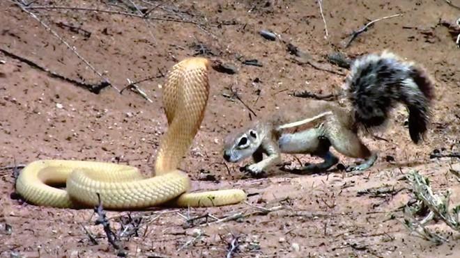 """Bằng thân pháp cực kỳ linh hoạt, sóc nhỏ biến màn đi săn của rắn hổ mang thành một """"trò lố"""""""