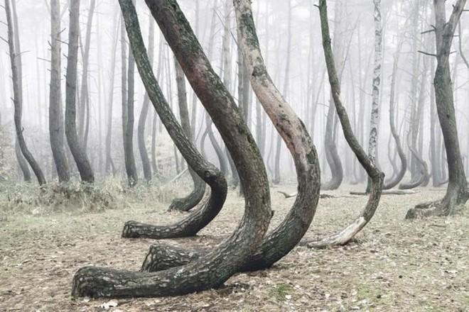 Rừng cây bí ẩn có hình dáng kỳ lạ, chưa từng tìm được lời giải đáp từ các nhà khoa học ảnh 2