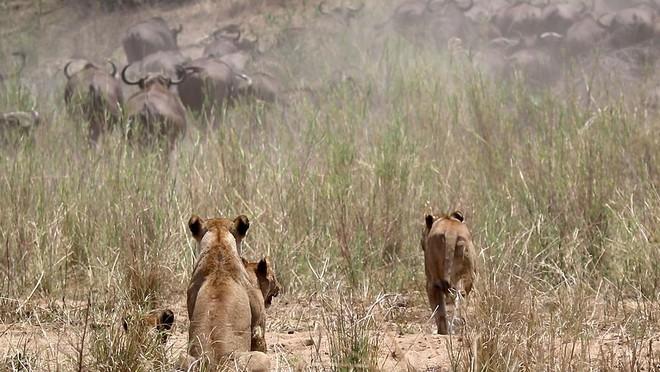 Nhờ vào sức mạnh của sự đoàn kết, đàn trâu rừng hết lần này đến lần khác chặn đứng đòn tấn công của bầy sư tử ảnh 1