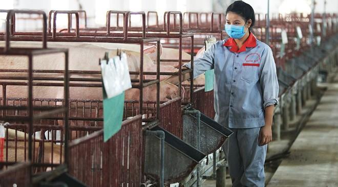 Nguồn cung lợn thịt trong nước đang khan hiếm, đẩy giá lợn tăng cao