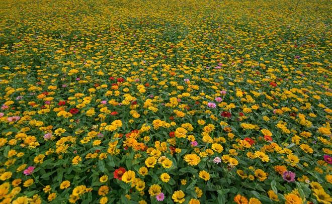 Bên trong thung lũng hoa lớn nhất Việt Nam ảnh 5