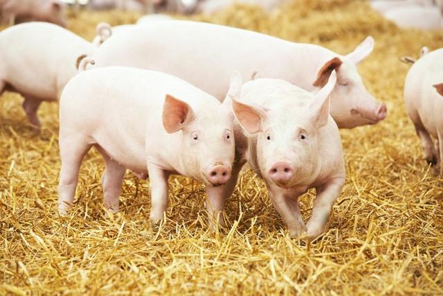 Lý giải cho sự sụt giảm lợi nhuận, Dabaco cho biết, quý II/2019 ngành chăn nuôi lợn ở Việt Nam bị ảnh hưởng bởi dịch tả lợn châu Phi, dẫn đến hoạt động kinh doanh của lĩnh vực chăn nuôi lợn và sản xuất con giống của công ty gặp khó khăn.