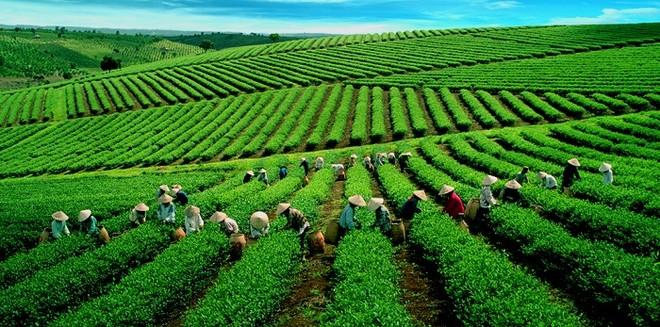 Việt Nam là nước đứng thứ 7 về sản xuất chè toàn cầu.
