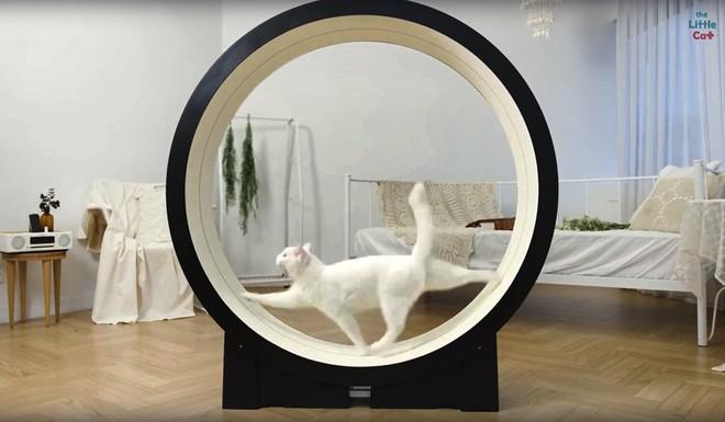 Máy chạy bộ giúp chú mèo lười nhà bạn có một thân hình gọn gàng