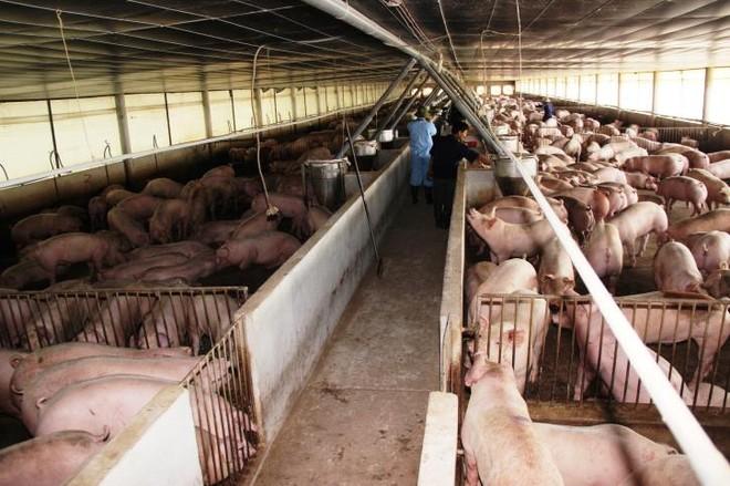 Được đầu tư bài bản, nên các công ty chăn nuôi có mô hình nhà máy hiện đại, quy mô và sản lượng lớn. Ảnh: TTXVN
