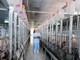 Giá thịt lợn cao ngất ngưởng, do đâu? - Bài 2: Bí ẩn chính sách bán hàng của doanh nghiệp chăn nuôi ảnh 1