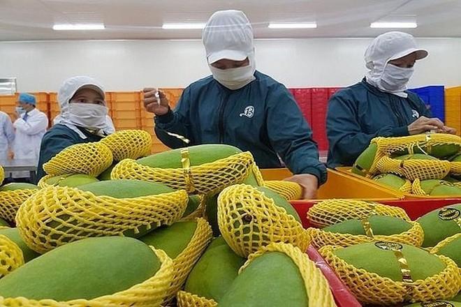 """Cán bộ của Lãnh sự quán Mỹ tại TP HCM sẽ bắt đầu trở lại làm việc tại cơ sở chiếu xạ kể từ tuần này, đồng nghĩa với việc trái cây sẽ xuất khẩu sang Mỹ bình thường trở lại sau khoảng thời gian """"tắc"""" đường sang Mỹ khoảng 3 tuần."""