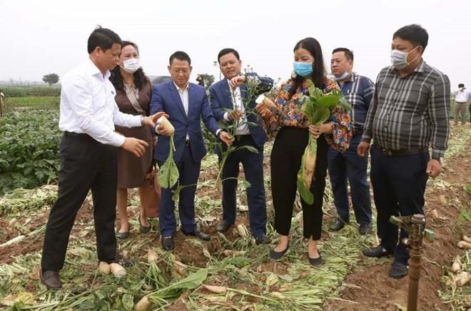 Củ cải của nông dân huyện Mê Linh bán giá từ 1.000 – 3.000 đồng/kg vẫn có lãi.