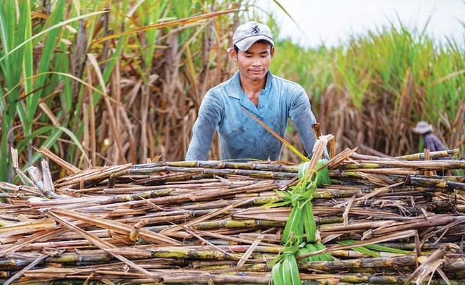 Nông dân cùng các nhà máy sản xuất đường trong nước đang khốn đốn vì đường nhập khẩu