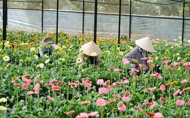 Vườn hoa đồng tiền tại làng hoa Vạn Thành, Đà Lạt (Ảnh minh hoạ).