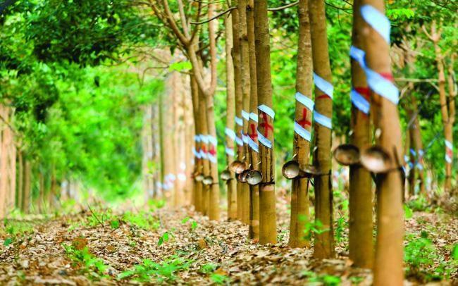 Cao su Phước Hòa có diện tích vườn cao su lên đến hơn 15.000 ha.